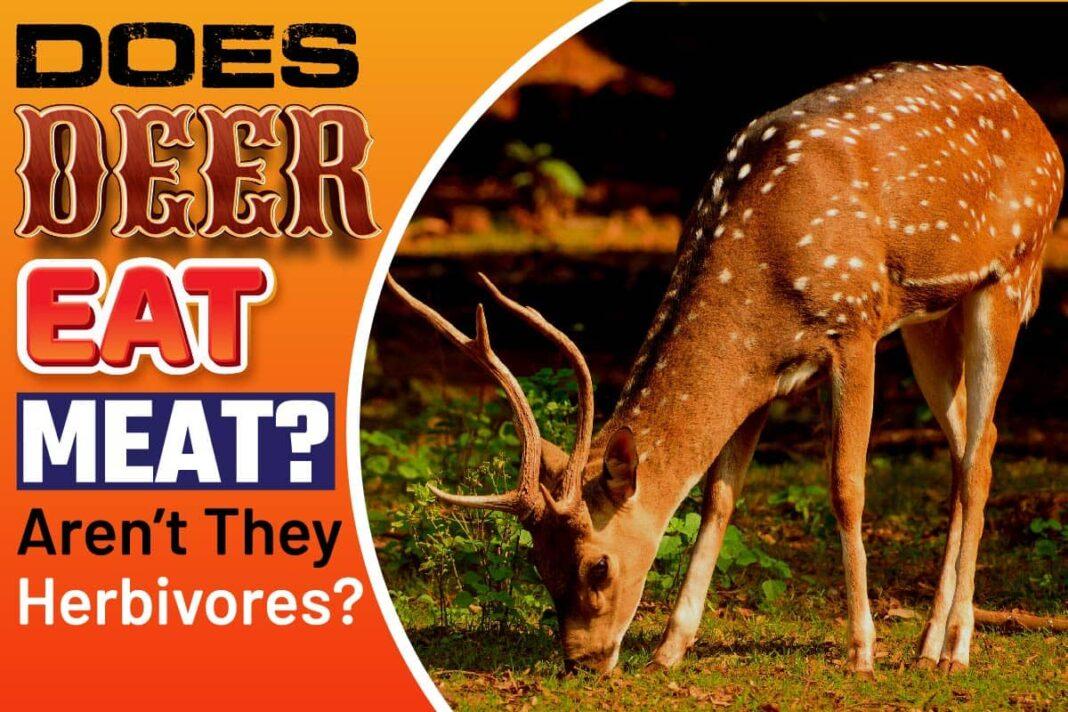 Does Deer Eat Meat