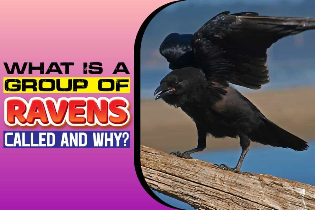 What is a Group of Ravens Called and Why
