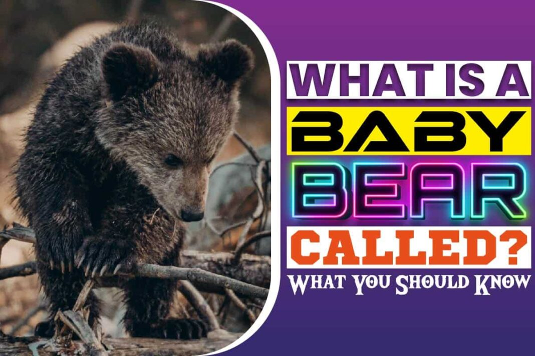 What Is A Baby Bear Called